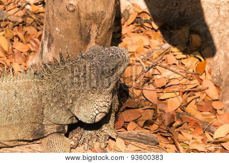 Blue rock iguana / Cyclura lewisi