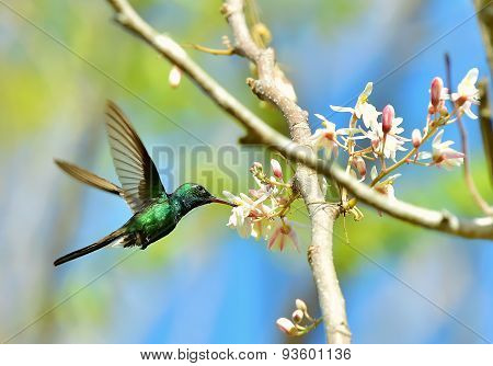 Flying Cuban Emerald Hummingbird (chlorostilbon Ricordii)