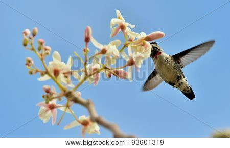 Flying Cuban Bee Hummingbird (mellisuga Helenae)