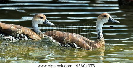 Cuban Or West Indian Whistling Duck