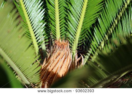 Dark green leaves of sago palm, botanical name Cycas revoluta