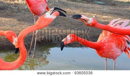 Large flamingo birds fight with their beacks