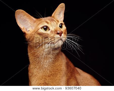 Portrait of beautiful young abyssinian cat