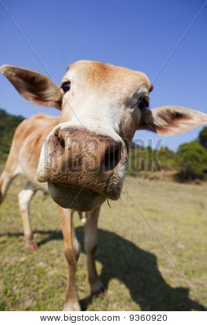 Close-up of a curious cow.