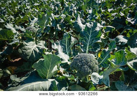 Ripe Broccoli Plants In A Large Field