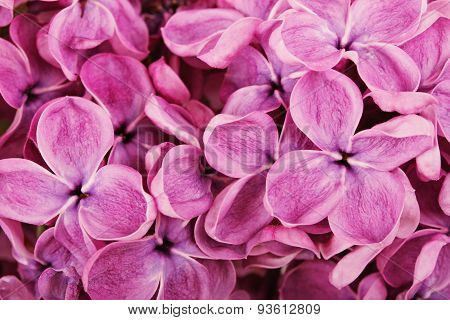 Close Up Of Purple Lilac Blossoms