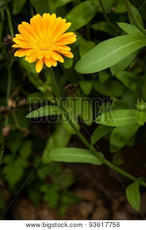 One yellow flower and green leaves