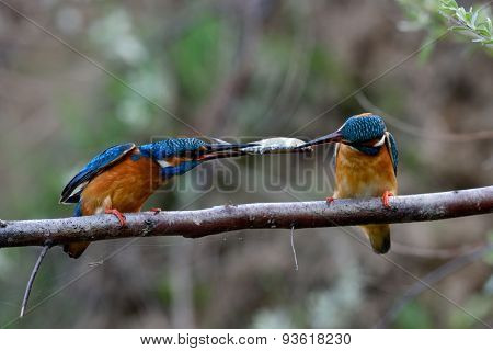 two kingfishers on branch in mating season ( alcedo atthis)