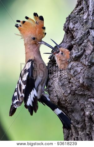 hoopoe bird bringing insect ti its chicks (upupa epops)