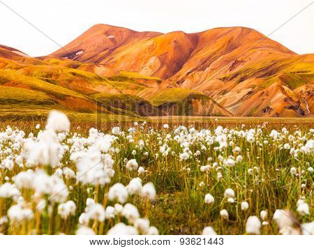 Field of cotton grass in icelandic mountains