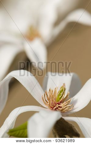 White Magnolia Flower Detail