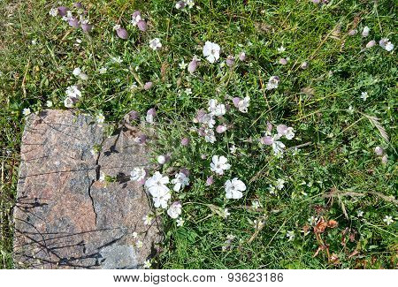 White sea campion flowers