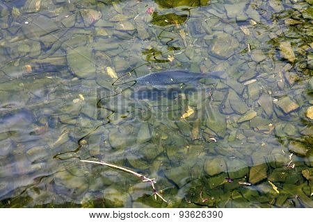 Fish in clear water