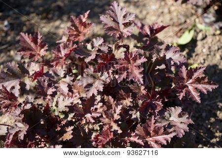 Heuchera flower in a garden herbaceous perennial plant