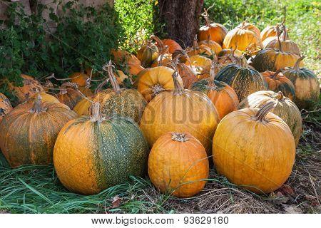 Lot Of Pumpkin At Outdoor