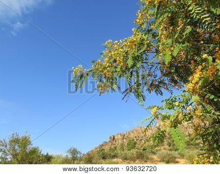 Yellow Acacia Blossoms
