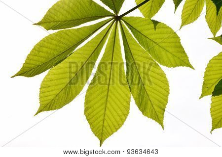 Translucent horse chestnut textured green leaves in back lighting on white sky background with sun s