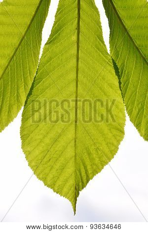 Horse chestnut translucent green leave in back lighting on white sky background