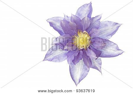 Single blue Clematis flower, isolated on white background