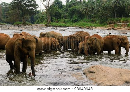 A herd of elephants are seen in the water in Pinnawala Elephant Orphanage, Sri Lanka
