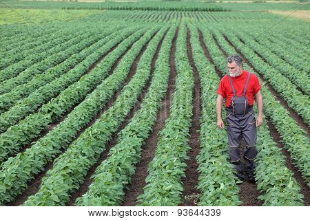 Farmer Or Agronomist Walking In Soybean Field And Examine Plant