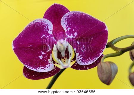 Purple Orchid Flower On A Yellow Background