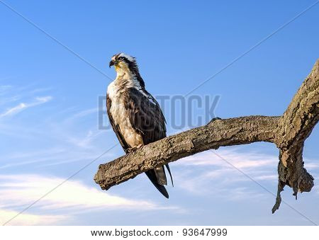Osprey Reverence