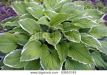 White And Green Leaves