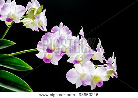Dendrobium orchid of Thailand on black background
