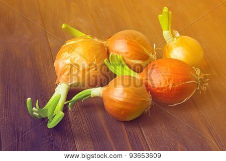 Onion Bulbs With Fresh Green Sprouts