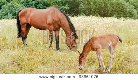 Horse And Foal In A  Field