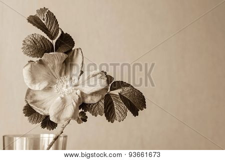 One Big Blossomed Dog-rose In Tone Sepia