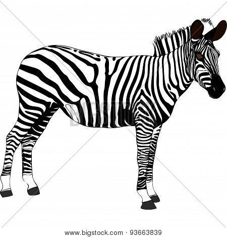 Zebra - Tanzania - Africa