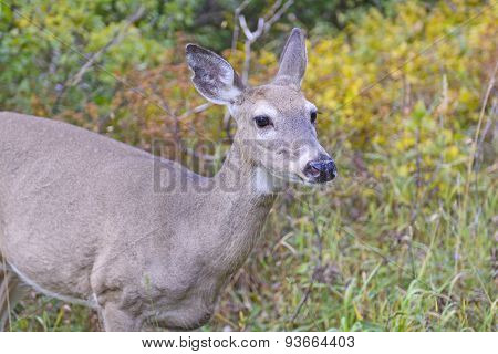 Mule Deer In The Western Mountains