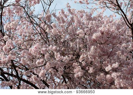 Sakura Flower Or Cherry Blossom.