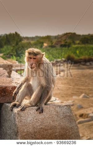 Monkey on a rock