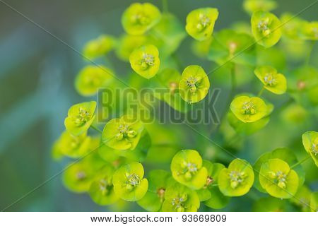 Spurge Flowers (euphorbia Amygdaloides)