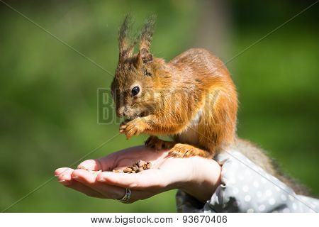 Squirrel Eating Nuts From Hand