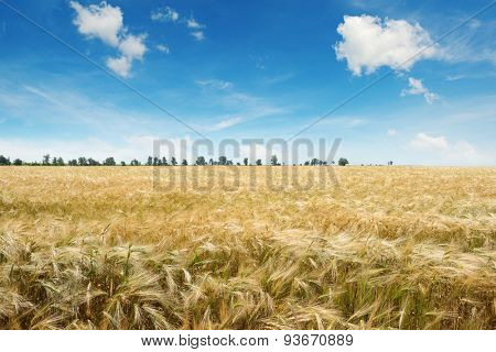 ripe wheat on a field