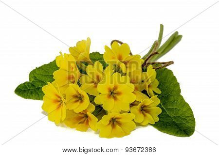 Bouquet Of Yellow Primroses, Isolated On White Background