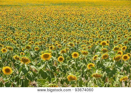Sunflower Plantation
