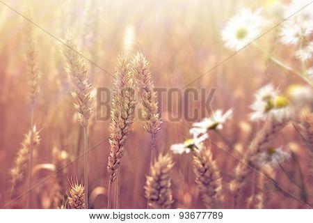 Wheat field - beautiful nature