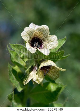 Henbane (Hyoscyamus niger)