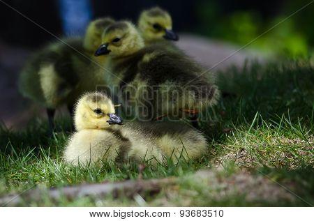 Newborn Gosling Resting In The Green Grass