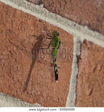 Dragonfly And Shadow