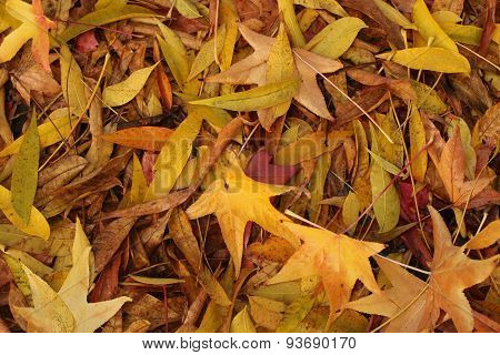 golden autumn leaves in pile