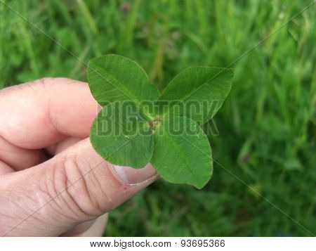 Lucky Four leaved Clover