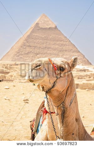 Camel and Pyramid in Giza - Cairo, Egypt