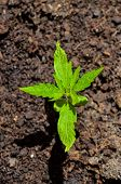 picture of marijuana plant  - Cannabis Marijuana Green Young Plant over the Floor - JPG