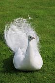 foto of albinos  - White albino peacock is layin on the grass and showing his profile - JPG